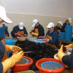 Извлечение икры из морских ежей. Фото пресс-службы ПБТФ