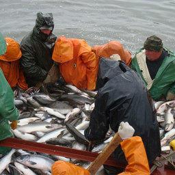 Рыбакам Камчатского края в рамках промышленного лова разрешено дополнительно добыть более 10 тыс. тонн горбуши в Карагинской подзоне