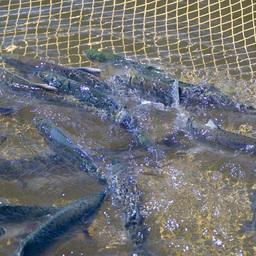 Наука готовит основу для Международного года лосося