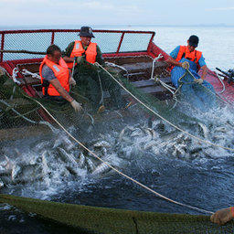 Итоги лососевой путины подвели на селекторном совещании в Росрыболовстве