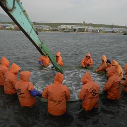 Добыча лосося на Камчатке
