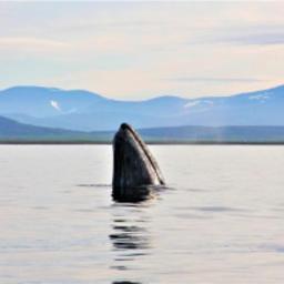 Серый кит. Фото пресс-службы правительства ЧАО