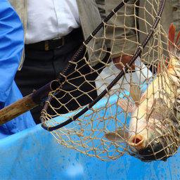 Аквакультура – не замена дикой рыбе, а дополнение