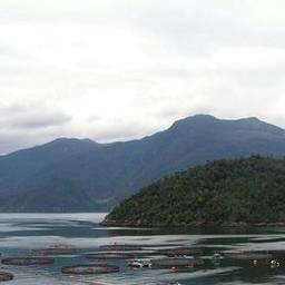 На аквафермах Чили вновь начался массовый падеж лососей. Фото портала IntraFish