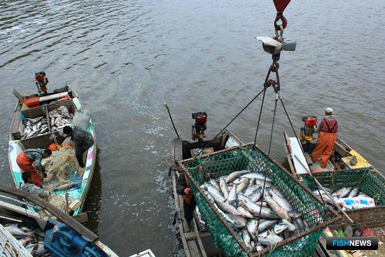 Основное сырье для «Дикого Улова» добывают рыбаки «Рыболовецкой артели «Гера» на рыбопромысловых участках на реке Амура. Фото Марины Кабушкиной