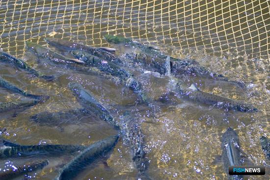 Мировая наука намерена углубиться в изучение лососей