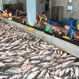 Лосось на рыбозаводе в Магаданской области. Фото пресс-службы Охотского теруправления Росрыболовства