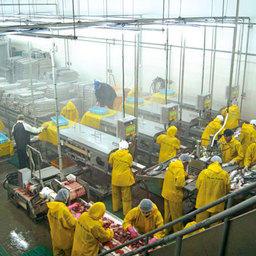 РК им. Кирова: цех переработки лососевых, полностью оснащенный оборудованием Nikko