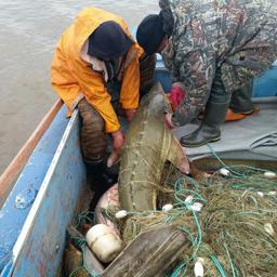 Браконьеры выпускают в среду обитания незаконно добытую ими рыбу. Комсомольский район