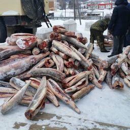 В машине обнаружили 194 потрошеные обезглавленные туши рыбы осетровых видов, общий вес которых составил 1950 кг. Фото пресс-службы Амурского теруправления Росрыболовства