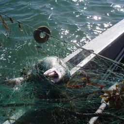 Рыба в браконьерских сетях