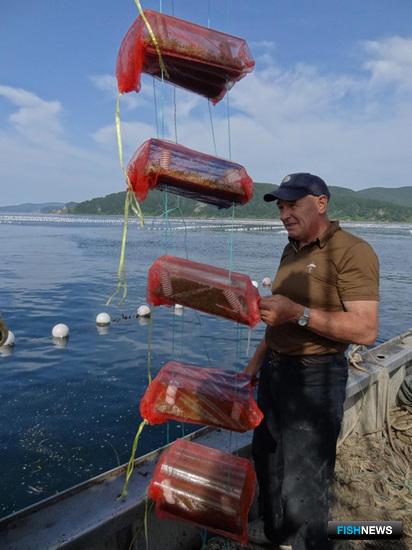 Выставление экспериментальных коллекторов для сбора личинок морского ежа. Фото – пресс-службы ПБТФ.