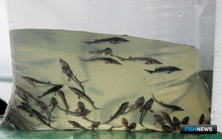 Китайские рыбоводы выпустили молодь осетровых в Амур