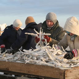 Зимний улов наваги в Сахалинской области