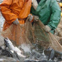 Возможности  предстоящей лососевой  путины