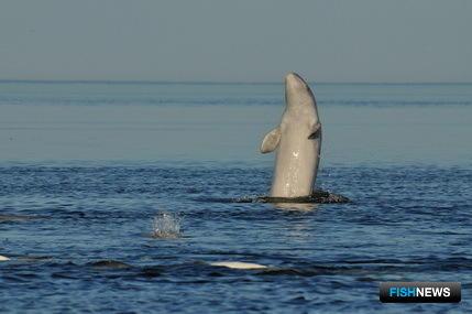 Совет по морским млекопитающим провел экспедицию по изучению беломорской белухи. Автор фото Иван Подгорный