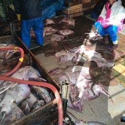На шхуне «Нико Мару 53» нашли более 21 тонны неучтенных водных биоресурсов - треску, кальмара, ската. Фото пресс-службы Пограничного управления ФСБ России по Сахалинской области