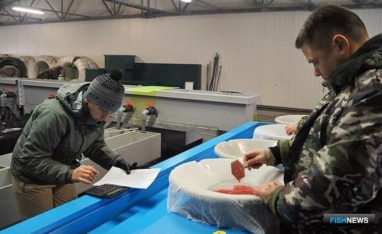На предприятиях ФГБУ «Севвострыбвод» проводится инвентаризация заложенной икры. Фото пресс-службы учреждения