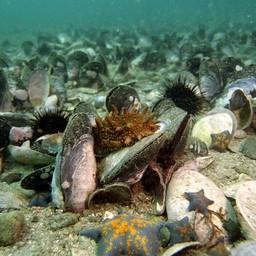 Мидии на морском дне