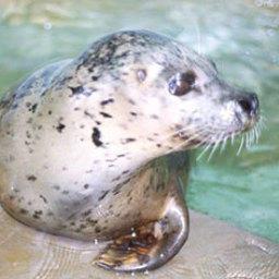 В Архангельской области возродят промысел гренландского тюленя