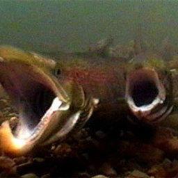 На что способен агрессивный лосось?