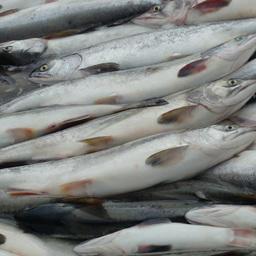 Санкт-Петербург встречает рыбу с Камчатки