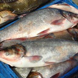 Выращенная рыба