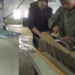 Рыбоводы с Амура посетили Охотский рыбоводный завод для бонитировки сахалинского осетра. Фото пресс-службы Амуррыбвода