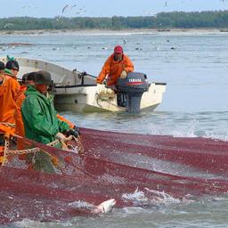 Добыча лосося на Дальнем Востоке