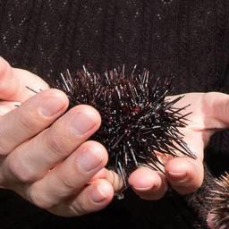 Морской еж. Фото пресс-службы правительства Сахалинской области