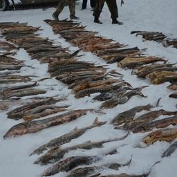 В Оренбургской области предотвратили незаконный ввоз 1,3 тонны осетровых из Казахстана. Фото пресс-службы Приволжского таможенного управления