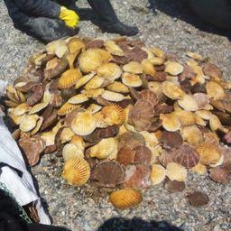 Гребешок, изъятый у дайверов возле поселка Преображение. Фото пресс-группы погрануправления ФСБ России по Приморскому краю