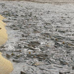 Рыбоводы могут оценить порядок организации искусственного воспроизводства