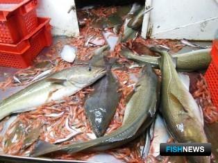 Уловы учетного трала НИС «Фритьоф Нансен». Фото пресс-службы Полярного НИИ морского рыбного хозяйства и океанографии