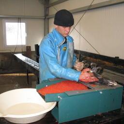 Извлечение икры на рыбоводном заводе в Сахалинской области