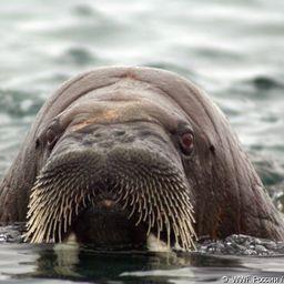WWF организовал акцию в поддержку изучения моржа. Фото пресс-службы организации.