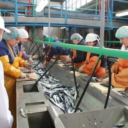 Переработка сайры на рыбокомбинате «Островной»