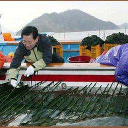 Морская капуста – гарантия будущего