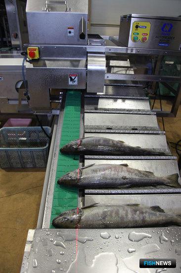 Линия непрерывной переработки лососевых NAG-501, установленная на Южно-Курильском рыбокомбинате, обрабатывает около 50 тонн сырца в сутки