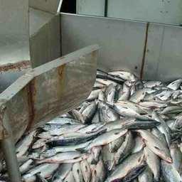 Вылов лососей на Сахалине и Курилах превысил 130 тыс. тонн
